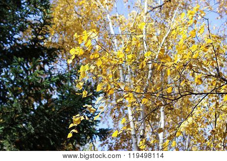 Branches Of A Birch And Pine.