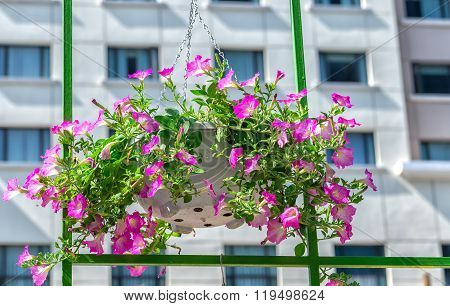 Petunias hanging inside the window frame