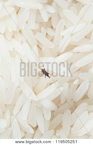 close up of weevil insect destroy rice.