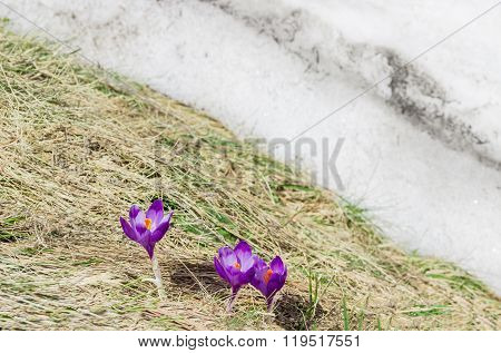 Crocus Vernus Against The Backdrop Of Dry Grass And Snow