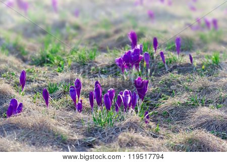 Mountain Slope With Crocuses Vernus Among The Withered Grass