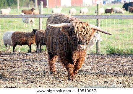 Furry Bull