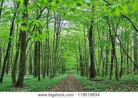 hornbeam forest in spring