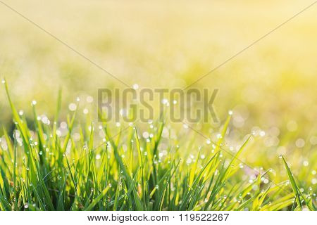 Morning dew drops on blades of green grass, sunrise