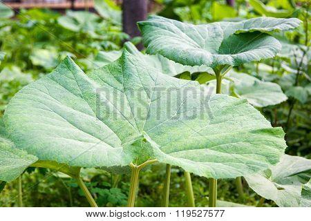 Fresh Juicy Green Leaves Of Burdock