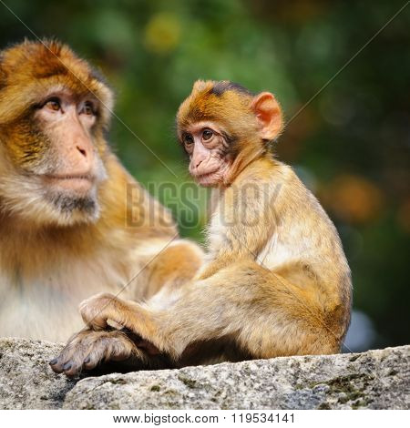 Young Barbary Macaque Next To An Adult Female, Netherlands