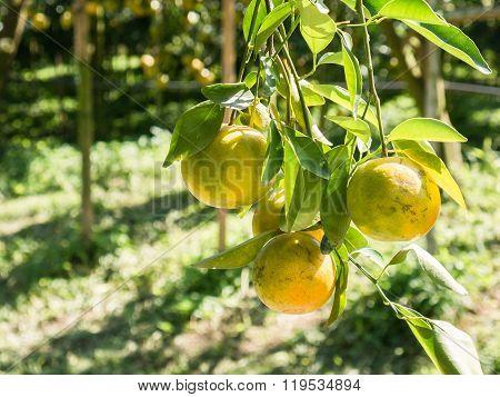 Fresh Oranges Thai Honeysuckle Species Oranges Pile.