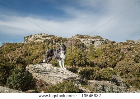 Border Collie Dog On Rock Amongst Maquis In Corsica