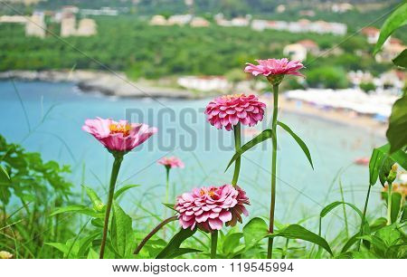 pink flowers at Stoupa beach Peloponnese Greece