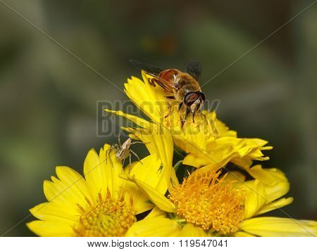 Bee And Spider On Yellow Flowers