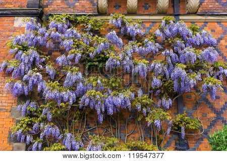 Blue wisteria shrub.