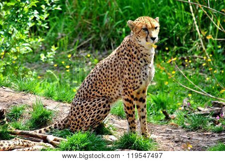 Cheetah Latin name Acinonyx jubatus