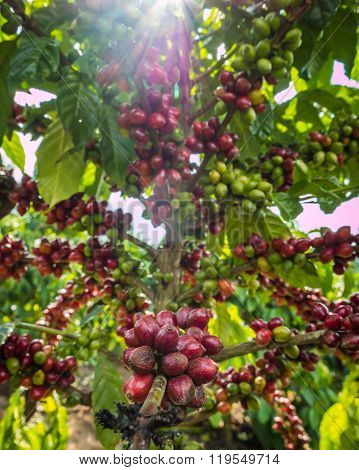 Pure Red Bunch Of Coffee Seeds In A Plantation Almost Nearing Harvesting And Sunray.