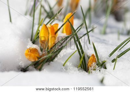 Yellow Crocuses In The Snow