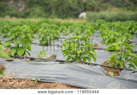 pepper tree garden