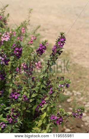 Salvia Flower In The Garden.