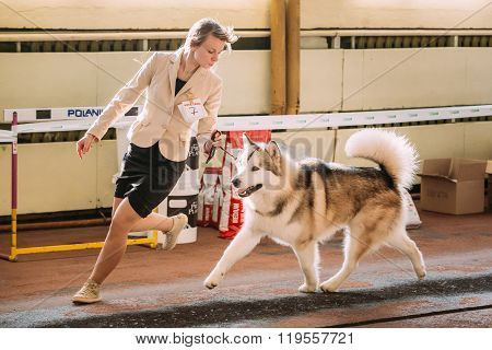 Young beautiful woman and alaskan malamute dog