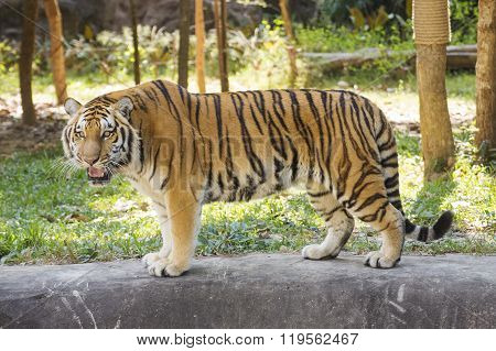 Bengal Tiger Walking