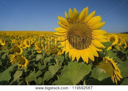 Happy Sunflowers
