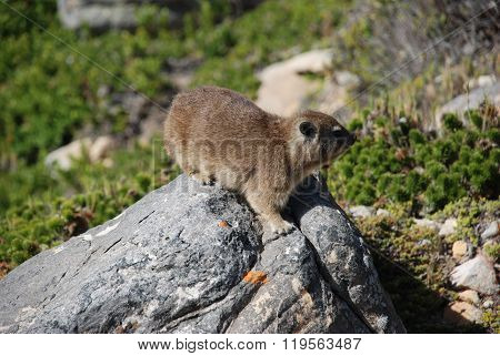 A Rodent On Rock In The Cape Of Good Hop