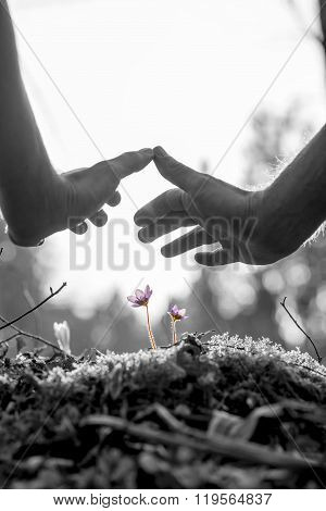 Male Hands Making A Protective Gesture Over Delicate Purple Flower