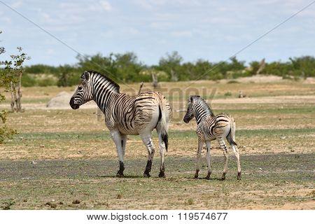 Zebras In Etosha, Namibia