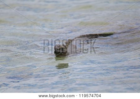 Marine Iguana Swimming Near Chinese Hat Island, Galapagos National Park, Ecuador.
