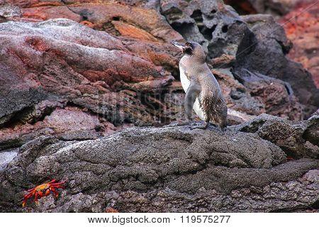 Galapagos Penguin Standing On Rocks, Bartolome Island, Galapagos National Park, Ecuador