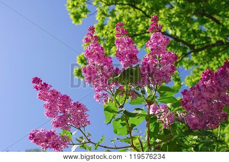 Branch of purple lilac flowers