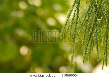Closeup of weeping European Larch