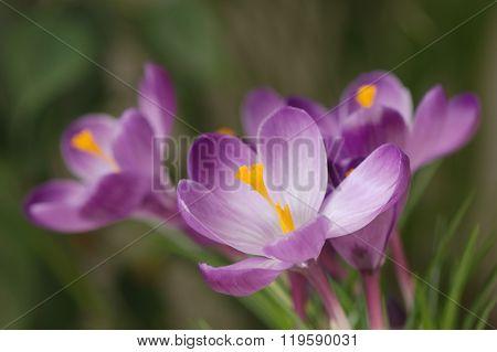 Purple crocuses against blurred green background