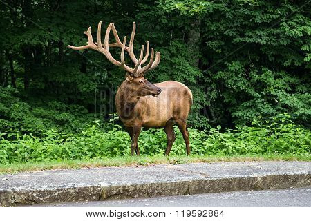 Rangifer Tarandus In Appalachian Mountains,  Usa