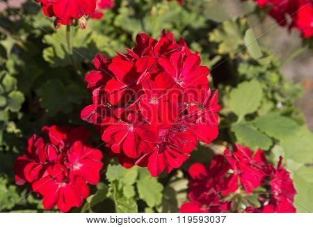 Red Pelargonium Closeup Lit By The Sun. Flowers And Gardens