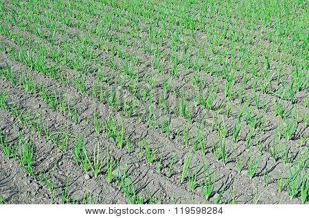 Onion Rows