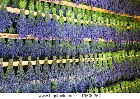 Budles of lavender hung to dry in storage room.