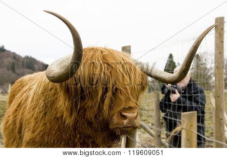 Taking Pictures To Highland Cow