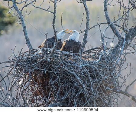 Bald Eagles On The Nest