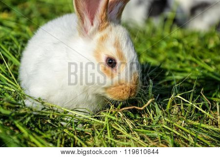 Rabbit feed in grass in springtime. Cute bunny chew hay in garden. Traditional Easter symbol