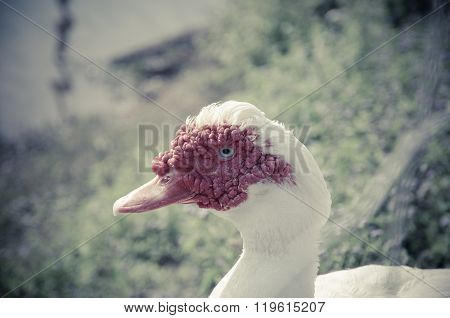 Close Up Of A Muscovy Duck Head