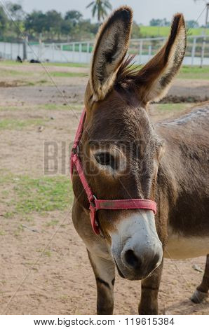 Portrait Of A Donkey.