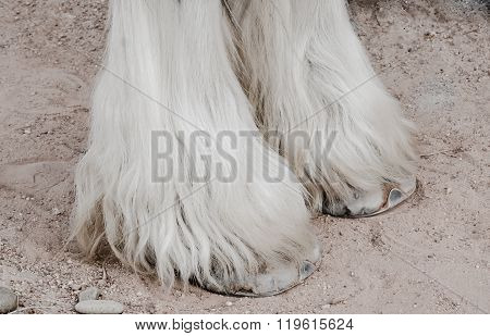 Close Up Of Legs,gypsy Vanner Horse.