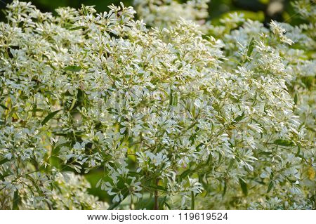 Euphorbia leucocephala plants in nature garden