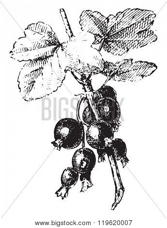 Blackcurrant, vintage engraving.