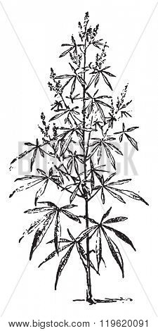 Hemp, vintage engraved illustration. Dictionary of words and things - Larive and Fleury - 1895.