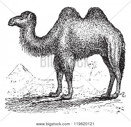 Camel, vintage engraved illustration. Dictionary of words and things - Larive and Fleury - 1895.