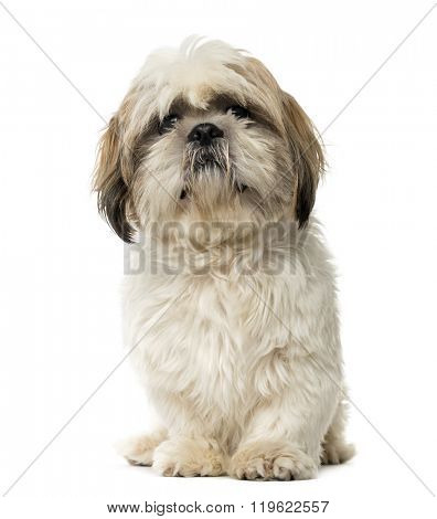 Shih Tzu sitting and looking at the camera, isolated on white (1 year old)