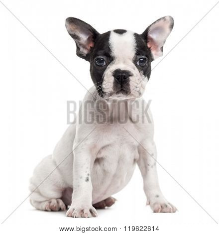 French Bulldog puppy sitting and looking at the camera, isolated on white (2 months old)