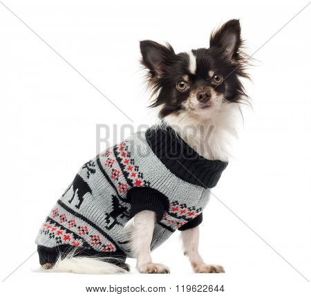 Chihuahua dressed, sitting and looking at the camera, isolated on white (1 year old)