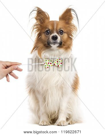 Papillon with a funny bow sitting and looking at the camera, isolated on white (2 years old)