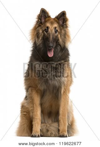 Belgian shepherd looking at the camera and sticking the tongue out, isolated on white (9 months old)